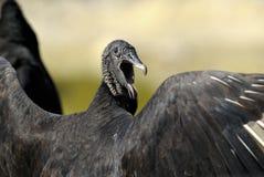 Coragyps atratus, black vulture Royalty Free Stock Photo