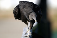 Coragyps atratus, black vulture Stock Photo