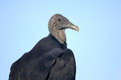 Coragyps atratus, black vulture Stock Image