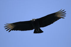 Coragyps atratus, black vulture. Flyby Royalty Free Stock Images