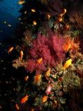 Corail Photos libres de droits