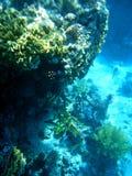 Corail 9 Images libres de droits