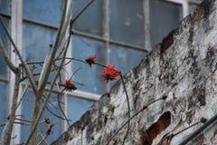 Corail-arbre fleurissant devant le mur images stock