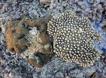 Corail chez Koh Bulone, Satun Thaïlande Images stock