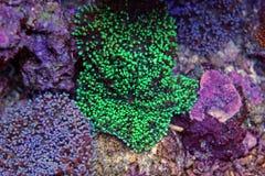 Corail coloré dans le réservoir d'aquarium de récif Images libres de droits