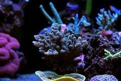 Corail coloré de SPS d'Acropora dans le réservoir d'aquarium de récif Photographie stock