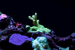 Corail coloré de SPS d'Acropora dans le réservoir d'aquarium de récif Photos libres de droits