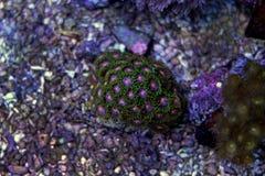 Corail coloré de zoanthus de polype Images libres de droits
