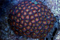 Corail coloré de zoanthus de polype Photos libres de droits