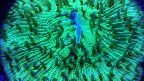 Corail court vert de plat de tentacule banque de vidéos