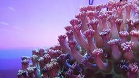 Corail d'élégance dans l'aquarium banque de vidéos