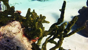 Corail d'éponge de mer verte en Bahamas Plan rapproché banque de vidéos