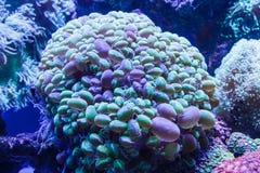 Corail dans l'aquarium Images stock