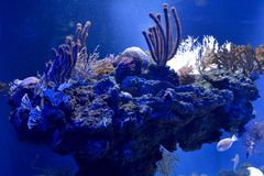 corail dans l'aquarium d'eau de mer images libres de droits