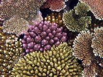 Corail de branche. La Grande barrière de corail Image stock