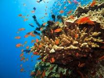 Corail de branchement et poissons de clown sur le récif Images stock