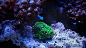 Corail de calice dans le réservoir marin Photographie stock