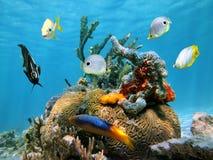 Corail de cerveau avec les éponges et les poissons colorés de mer Photographie stock libre de droits