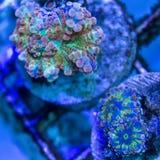 Corail de champignon d'arc-en-ciel Photos stock