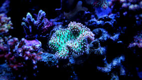 Corail de champignon en cuir dans le réservoir de récif Images libres de droits