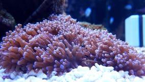 Corail de champignon velu de lavande Photographie stock libre de droits