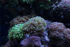 Corail de frai de grenouilles d'Euphyllia Image stock