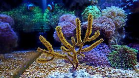 Corail de Gorgonian jaune de polype Photos libres de droits