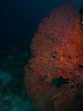 Corail de Gorgonion images stock