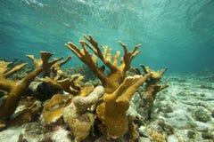 Corail de klaxon d'élans, Bonaire Photo libre de droits