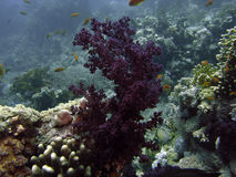 Corail de klunzingeri de Dendronephthya Image stock