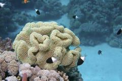 Corail de la Mer Rouge Photo libre de droits