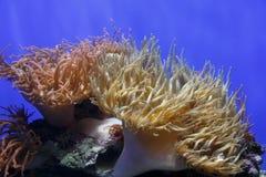 Corail de mer Photos stock