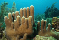 Corail de pilier - Roatan Photos libres de droits