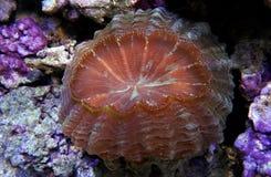 Corail de Scolymia photographie stock libre de droits