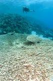 Corail de Tableau et plongeur autonome Image libre de droits