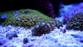 Corail de Zoanthid dans l'aquarium marin Images stock