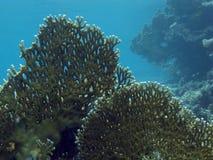 Corail dur en Mer Rouge Photo libre de droits