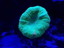 corail dur vivant dans l'aquarium d'eau salée Photos libres de droits