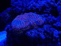 corail dur vivant dans l'aquarium d'eau salée Photographie stock