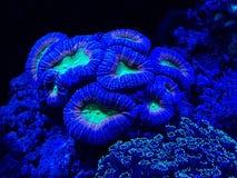 corail dur vivant dans l'aquarium d'eau salée Photo stock