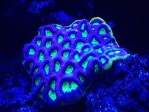 corail dur vivant dans l'aquarium d'eau salée Image libre de droits