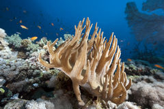 Corail en cuir de doigt Photo libre de droits
