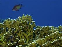 Corail en Mer Rouge Image libre de droits