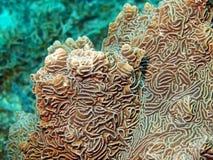Corail en pierre Images libres de droits