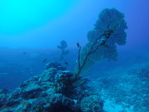 Corail en Thaïlande photos libres de droits