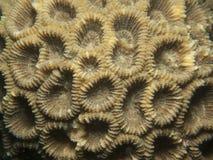 Corail - espèces de Favia. Photographie stock libre de droits