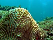 Corail et plongeur de cerveau Images libres de droits