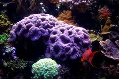 Corail et poissons d'aquarium Photographie stock libre de droits