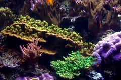 Corail et poissons d'aquarium Photo libre de droits
