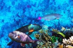 Corail et poissons en Mer Rouge. L'Egypte, Afrique. Image stock